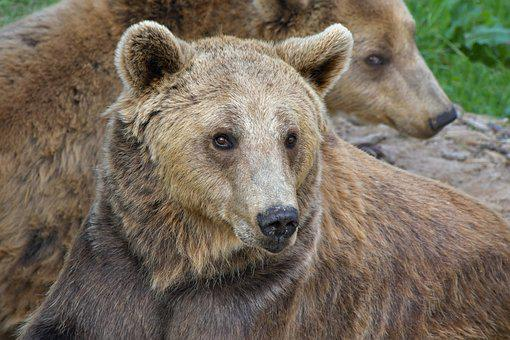 Brown Bear, Portrait, Ursidé, Animal, Wild