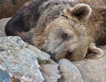 Brown Bear, Portrait, Ursidé, Animal, Wild, Carnivore