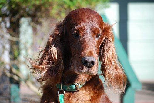 Dogs, Irish Setter, Red Setter, Pet, Animal, Purebred
