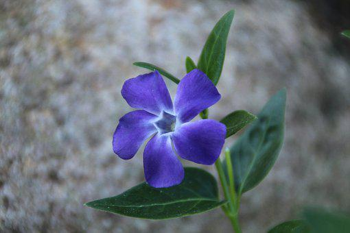 Periwinkle, Blossom, Bloom, Blue, Purple, Plant, Spring