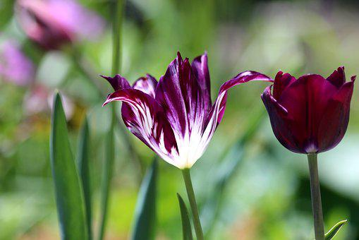 Tulip, Flower, Spring, Nature, Purple, White, Bloom