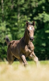 Horse, Foal, Brown, Rap, Gallop, Meadow, Young, Sweet