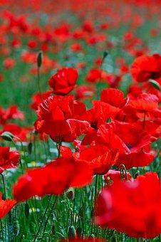 Poppy Field, Mood, Poppy, Red, Summer Flower, Red Poppy