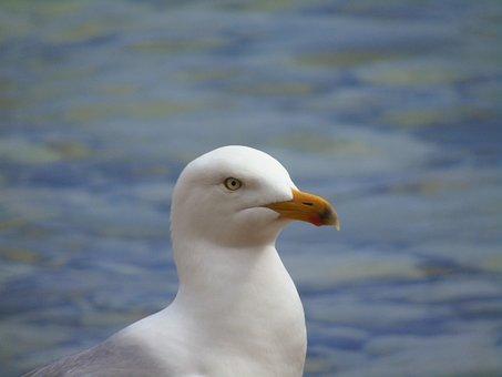 Seagull, Bird, Gull, Sea, White, Animal, Nature
