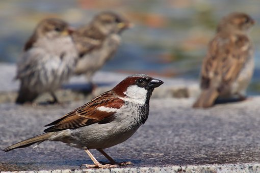 Sparrows, House Sparrow, Sperling, Bird, Animal, Water