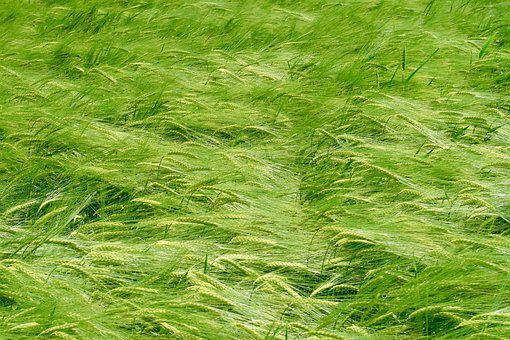 Cereals, Spring, Spike, Agriculture, Field, Grain