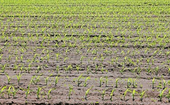 Corn, Cornfield, Seedlings, Spring, May, Arable, Field