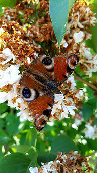 Butterfly, Nature, Insect, Animal, Garden, Summer