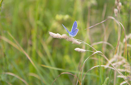 Butterfly, Meadow Meadow, Grass, Summer, Meadow, Nature