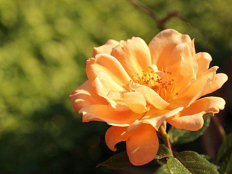 Rose, Orange, Yellow, Flower, Plant, Summer, Garden