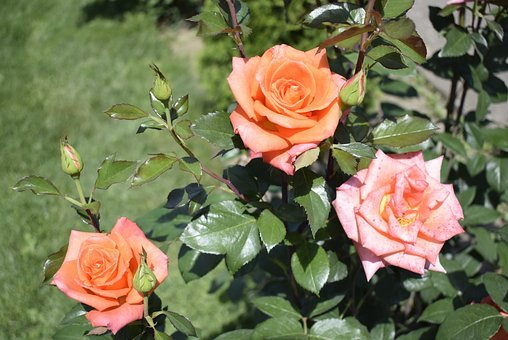 Three Roses, Two Orange And One Pink