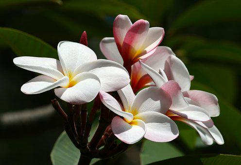 Plumeria, Flower, Hawaii, Tropical, Nature, White