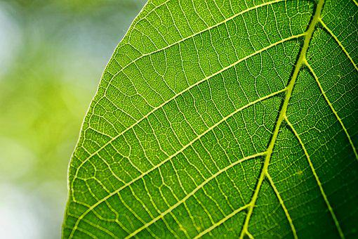 Leaves, Leaf, Walnut Leaf, Spring, Macro, Back Light