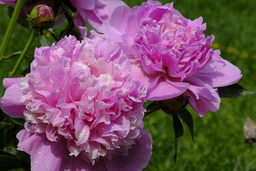 Peony, Rose, Wet, Dew, Dewdrop, Water Dripping