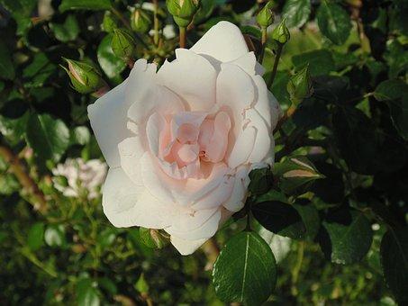 Rose, White, White Rose, Flower