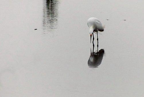 Heron, Lake, Wild, Nature, Bird, White Crane