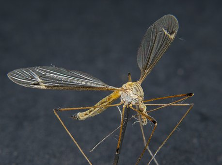 Insect, Daddy Longlegs, Close, Wing, Macro
