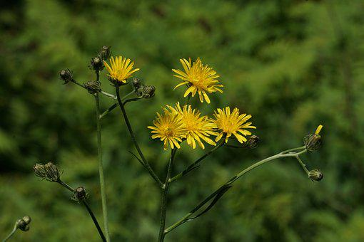 Wild Flower, Yellow, Yellow Wild Flowers