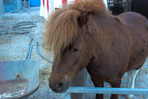 Horse, Pony, Brown, Animal, Circus, Brown Horse