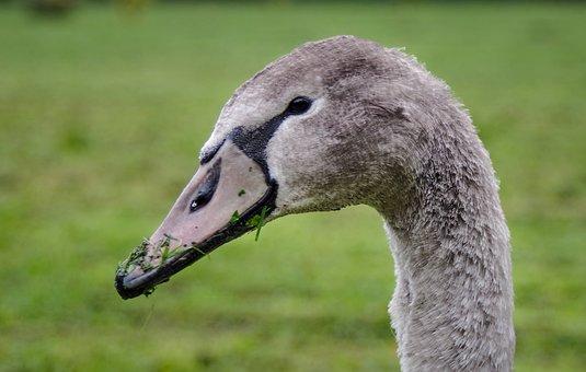Mute Swan, Cygnet, The Head Of The Swan, Bird, Beak