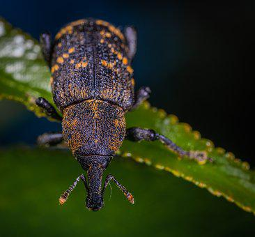Beetle, Insect, Coleoptera, Weevil