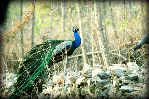 Peacock, Indian, Wildlife, Bharat, Banswara, Nature