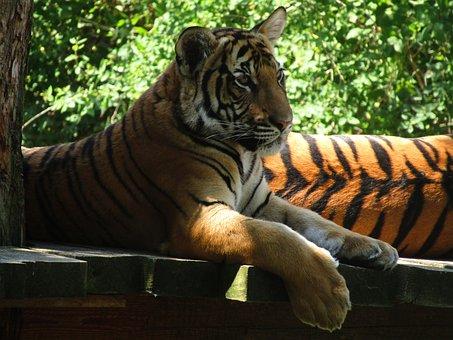 Tiger, Zoo, Big Tiger, Animal, Mammal, The Prague Zoo