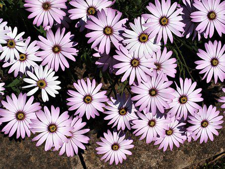 Flowers, Daises, Floral, Bloom, Summer