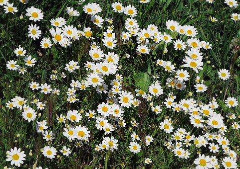 Wild Daisies, Carpet Of Flowers, Grass Surface