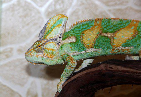 Chameleon, Chamaeleo Calyptratus, Yemen Chameleon