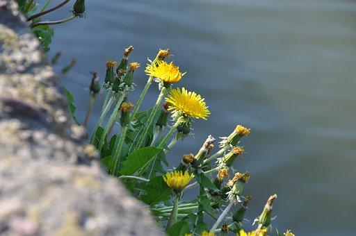 Blossom, Bloom, Dandelion, Wild Herbs, Water, Flower