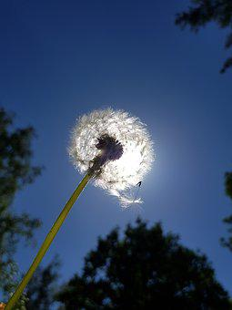 Dandelion, Sky, Nature, In The Free
