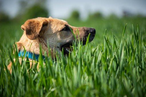 Dog, Meadow, Dog Portrait, Animal, Hundeportrait