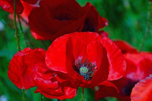 Poppy, Poppy Field, Red Poppy, Nature, Flower, Field
