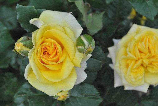 Rose, Yellow Roses, Flower Garden, Beautiful, Flowers