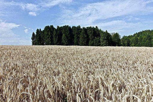 Wheat, Field, Crop, Agriculture, Grain, Seed, Golden