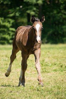 Gallop, Horse, Foal, Race, Pony, Animal, Ride, Meadow