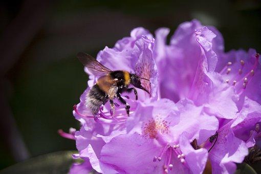 Rhododendron, Hummel, Traub Notes, Doldentraub