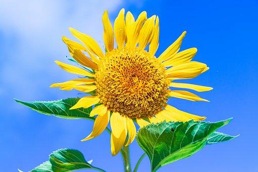 Ishigaki, Okinawa, Sunflower, Landscape, Flowers