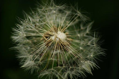 Dandelion, Flower, Close, Seeds, Macro, Nature, Blossom