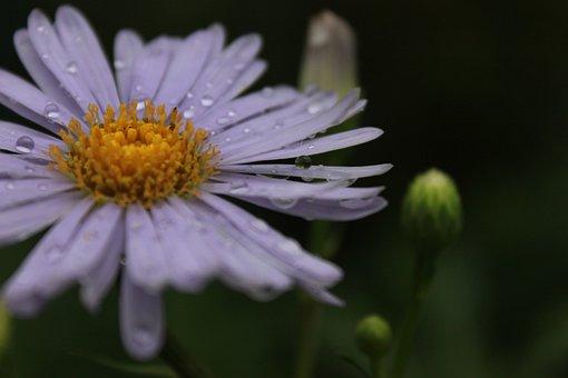 Marguerite, Margaret, Flowers, Margaret Street, Blossom