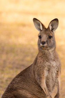 Kangaroo, Marsupial, Mammal, Australia, Wildlife