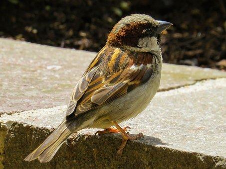 Bird, Sparrow, Sperling, Nature, Brown, House Sparrow