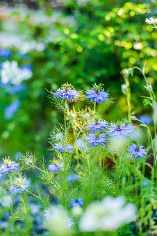 In The Early Summer, Nigella, Garden, Plant, Flowers