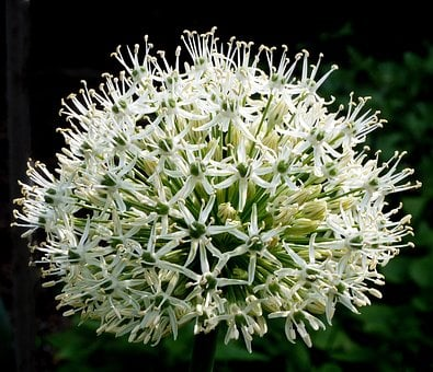 Allium, Ornamental Onion, Flowers, Bud, Flower Ball