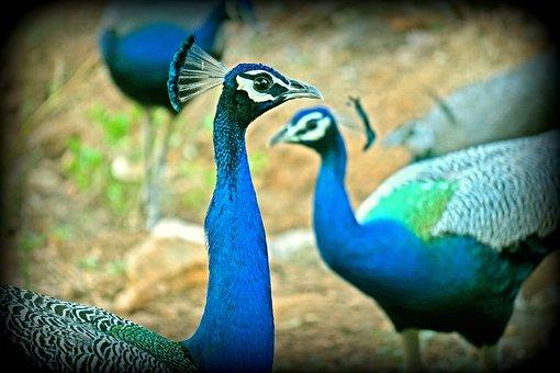 Peacock, Peahen, Wildlife, Bharat, Banswara
