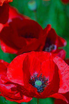 Poppy, Red, Summer Flower, Red Poppy, Meadow Flower