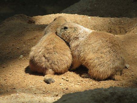 Prairie Dogs, Mammal, Zoo, Black-tailed Prairie Dog