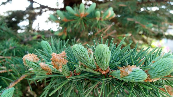 Pine Tree, Seed, Forest, Pine, Seasonal