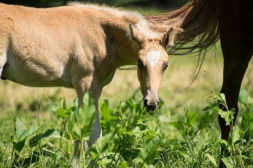 Foal, Small, Horse, Palomino, Animal, Meadow, Graze
